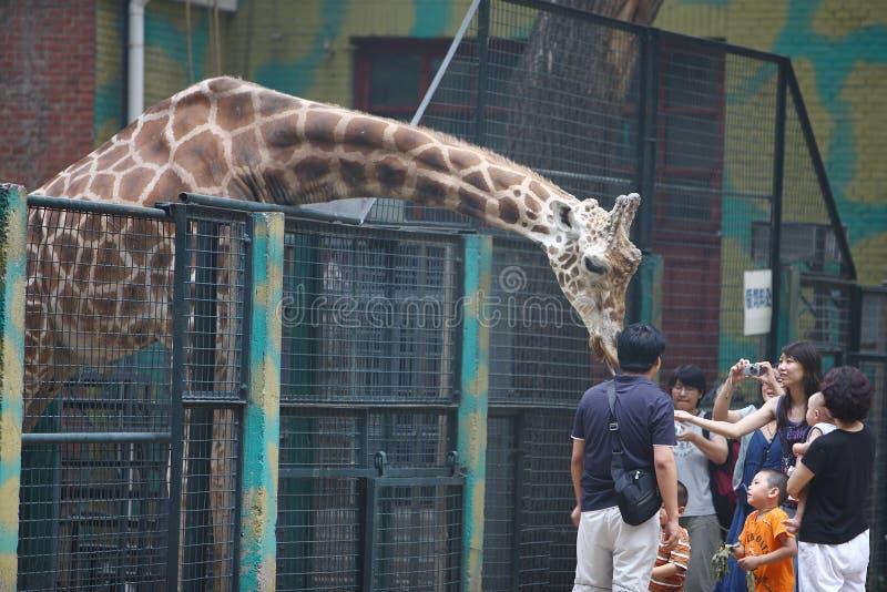 De toeristen voeden een giraf stock afbeelding