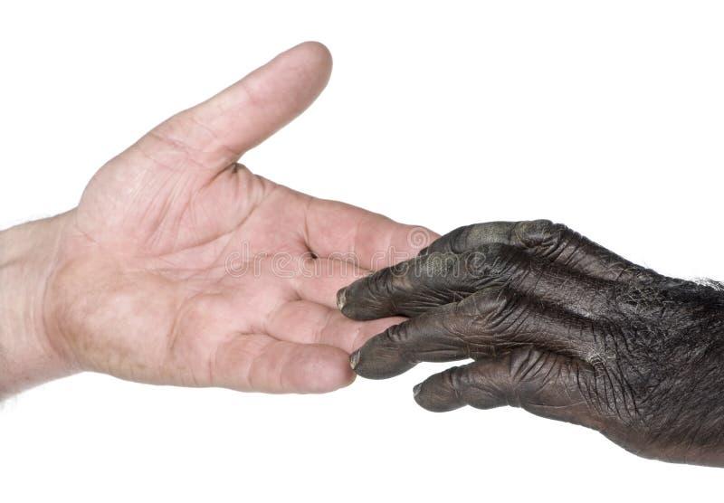 De toetredende handen van de mens en van de aap stock foto's