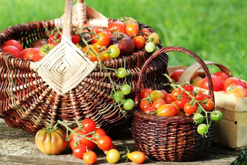 De tomaten van de erfgoedverscheidenheid in manden op rustieke lijst Kleurrijke rode tomaat -, geel, sinaasappel Oogst het planta stock afbeeldingen