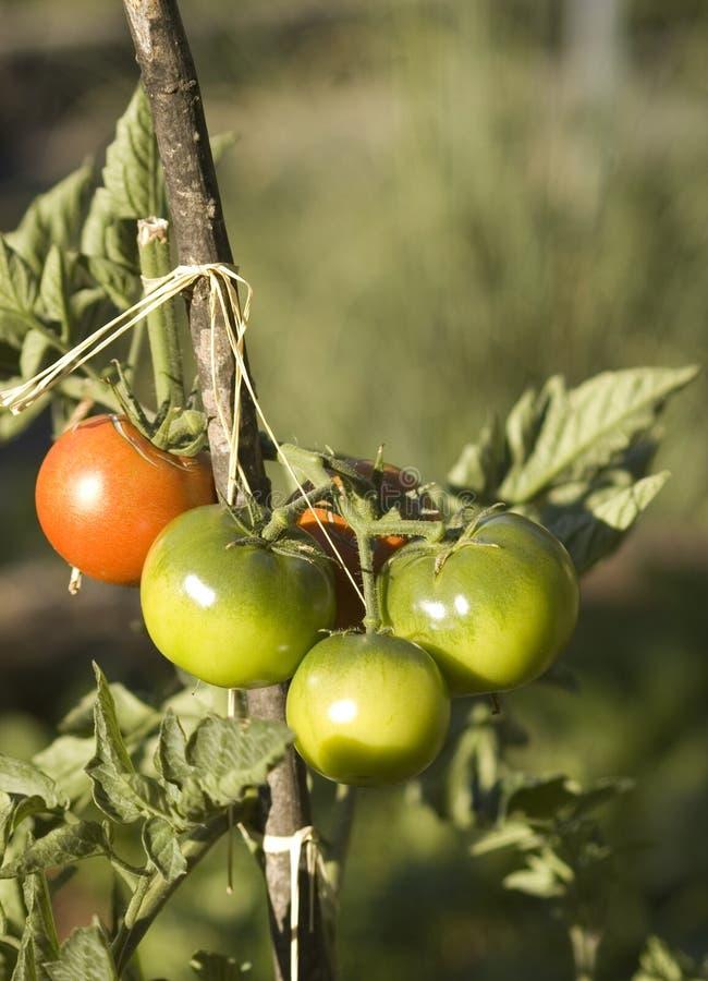 De tomaten van Greenand redc stock afbeelding