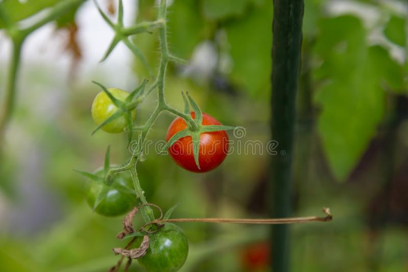 De tomaten van de kers op de wijnstok stock afbeeldingen