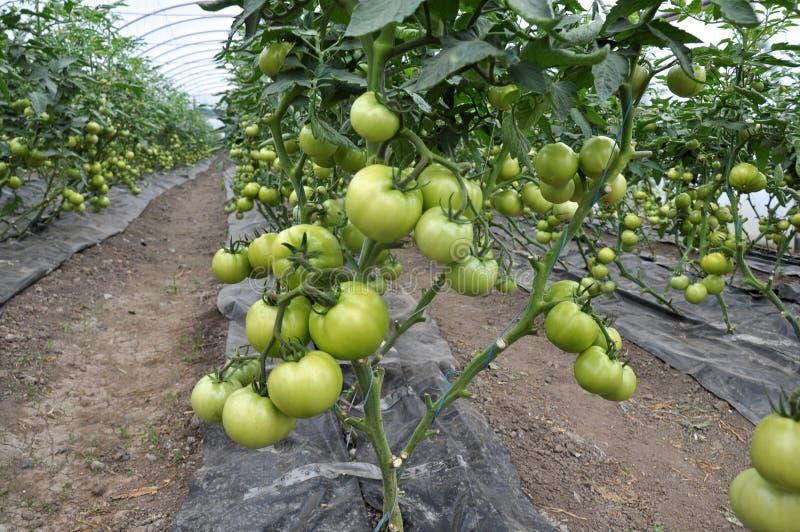 De tomaten worden in een serre gekweekt van polycarbonaat wordt gemaakt dat stock fotografie
