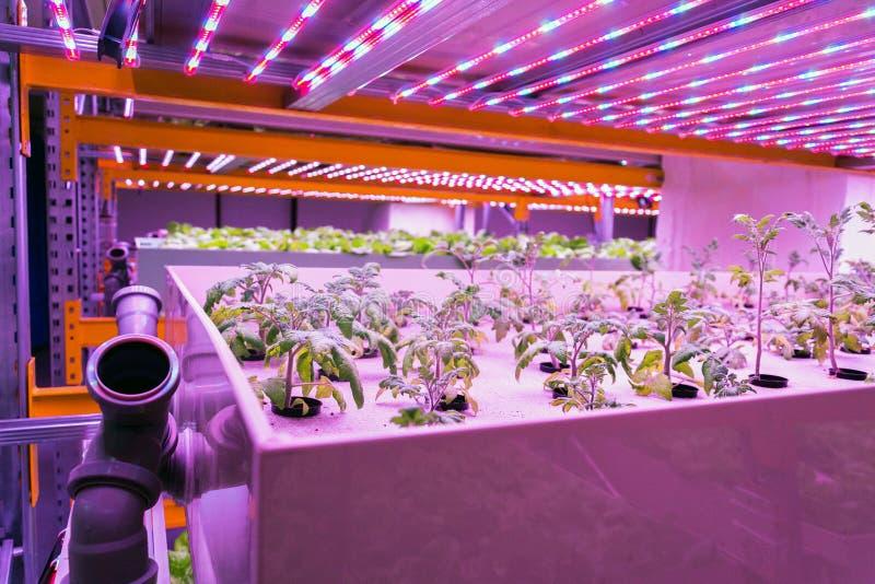 De tomatenjonge planten groeit in aquaponicssysteem die vissenaquicultuur combineren met hydrocultuur, cultiverend installaties i stock afbeeldingen