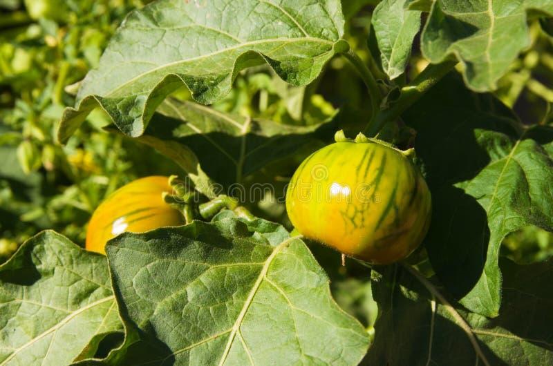 De tomatenplant van het erfgoed stock afbeelding