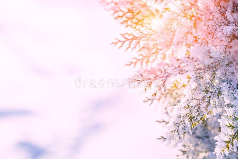 De toneelachtergrond van de winterkerstmis Sneeuwlandschap met thujatakken met sneeuw en zonlicht door de bevroren boomzemelen di stock fotografie