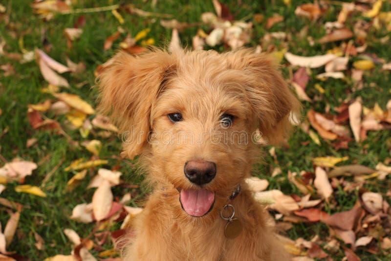 De Tong van het Goldendoodlepuppy uit royalty-vrije stock fotografie