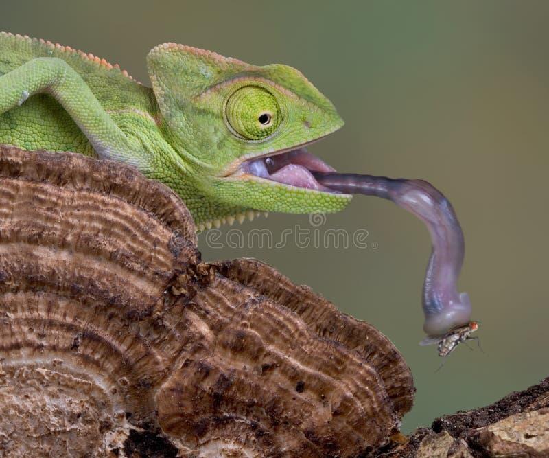 De tong van het kameleon royalty-vrije stock afbeelding