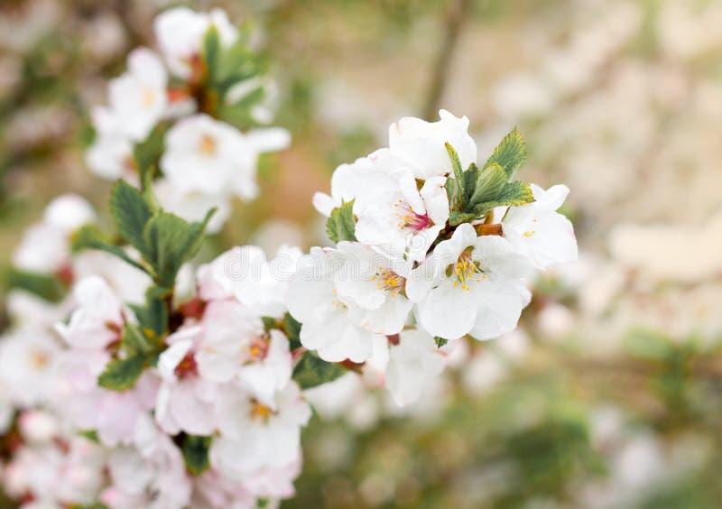 De tot bloei komende amandelboom in het de lentepark stock afbeeldingen