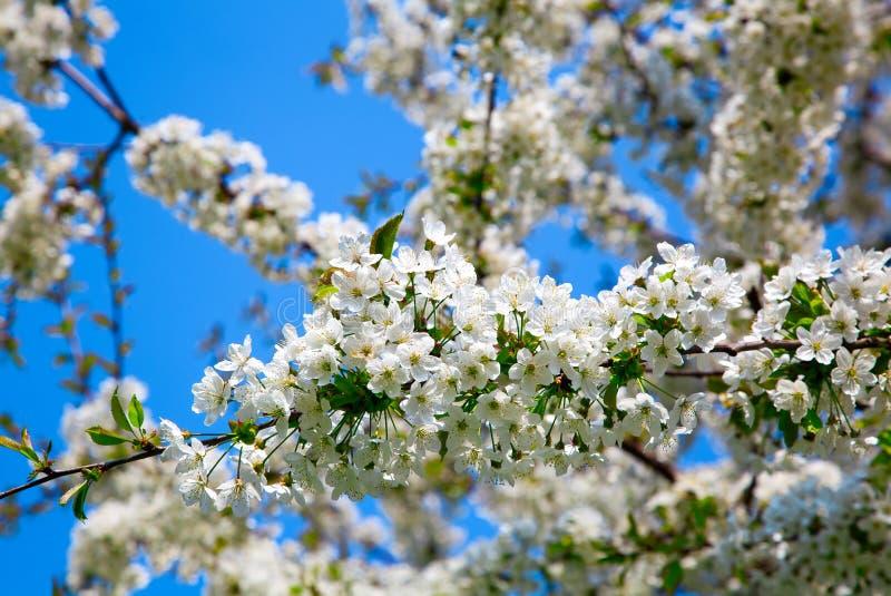De tot bloei komende appel-boom van de tak royalty-vrije stock foto's