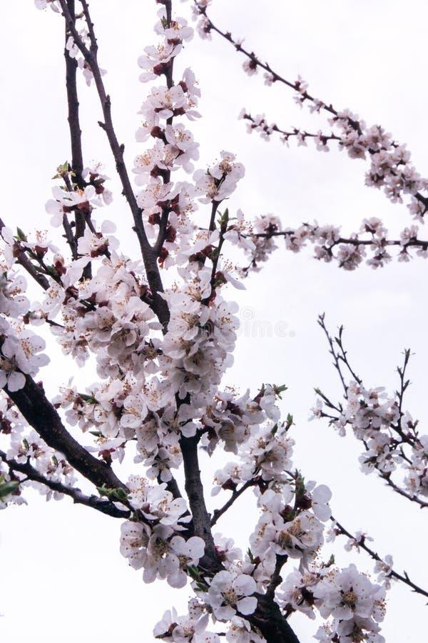 De tot bloei komende boom van de boomappel in de lente royalty-vrije stock fotografie