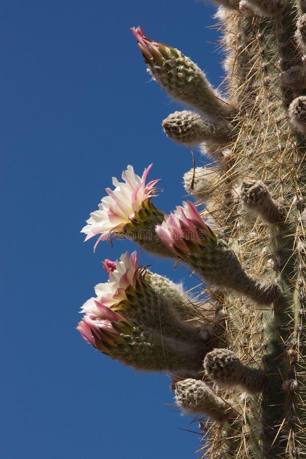 De tot bloei komende cactus stock afbeelding