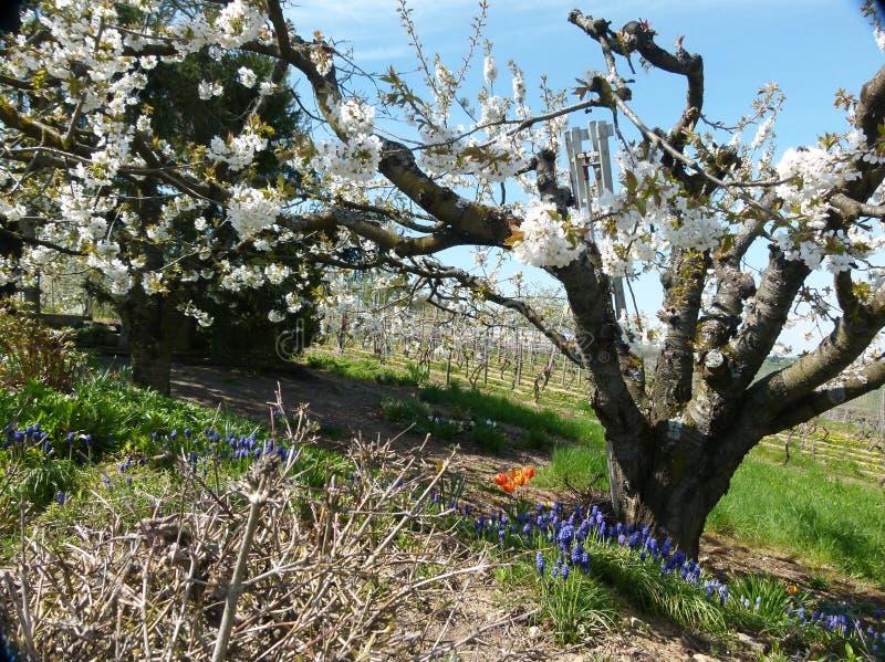 De tot bloei komende fruitboom met bloemen rond de boomstam in een schuine camera stelt stock foto