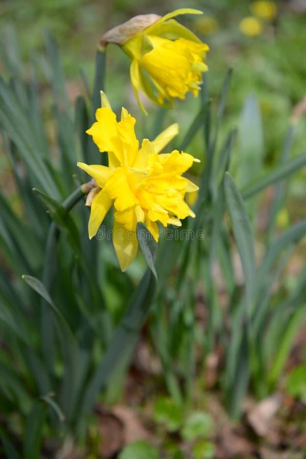De tot bloei komende gele badstof narcissuses Narcissen L royalty-vrije stock fotografie