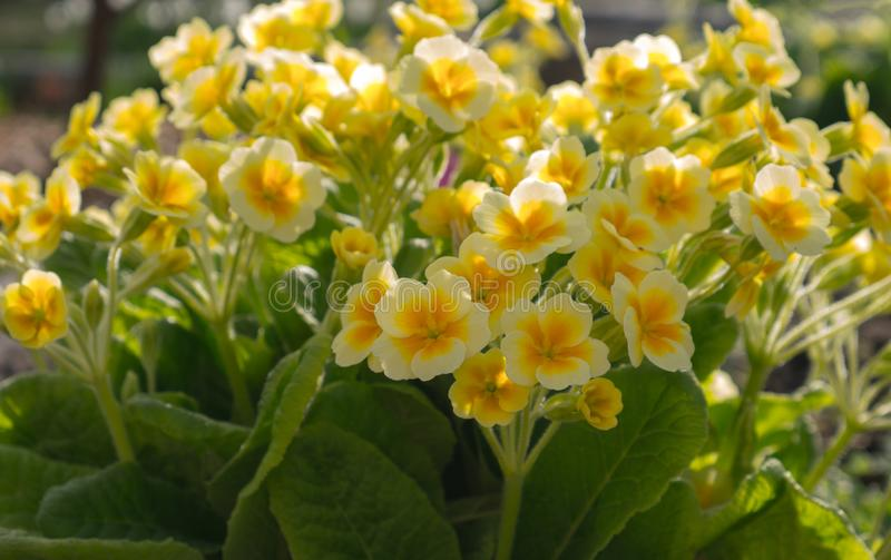 De tot bloei komende gele sleutelbloem De bloemen van de de lentetuin stock fotografie