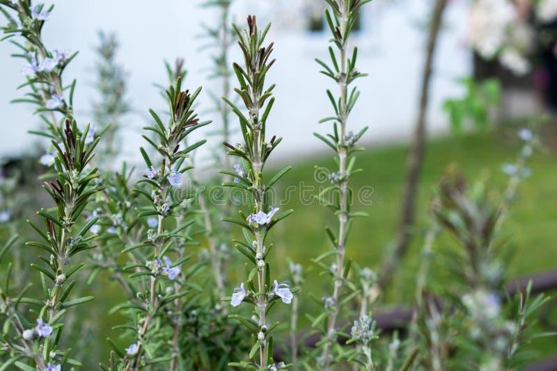 De tot bloei komende rozemarijninstallaties in het kruid tuinieren, geselecteerde nadruk, smalle diepte van gebied royalty-vrije stock afbeeldingen