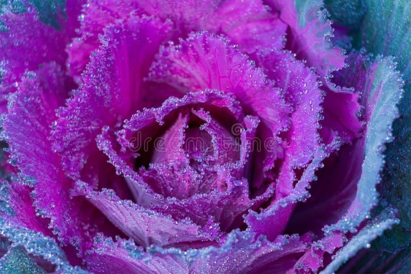 De Tot bloei komende Sierbloemkool in het Koude Weer royalty-vrije stock fotografie