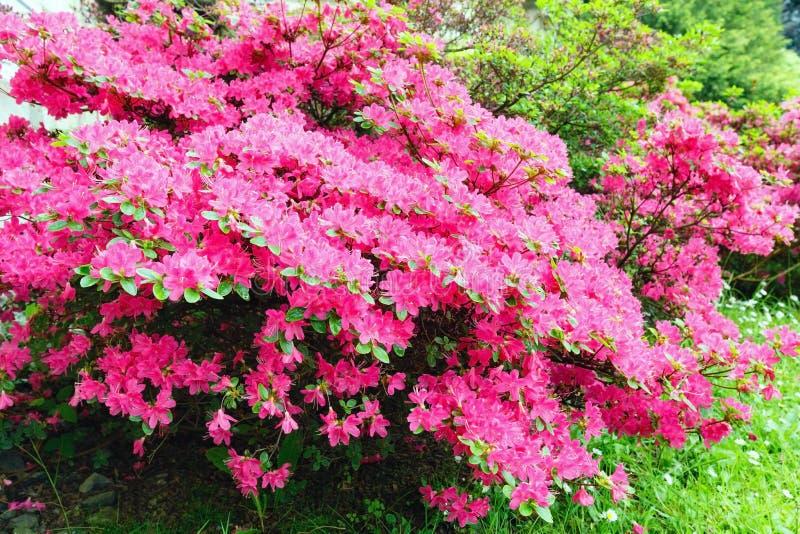 De tot bloei komende struik van de Rododendron met roze bloemen stock foto