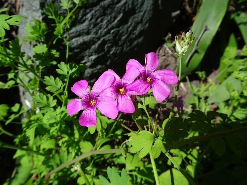 De trèfle de fleur visibilité directe les Andes Chili de Cordillère De pré photographie stock libre de droits