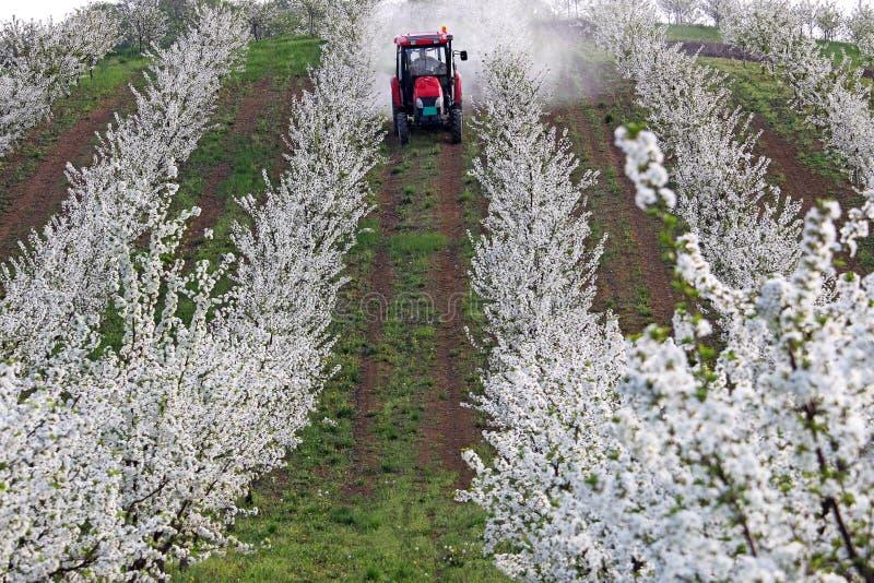 De tractor bespuit insecticide in kersenboomgaard royalty-vrije stock afbeelding