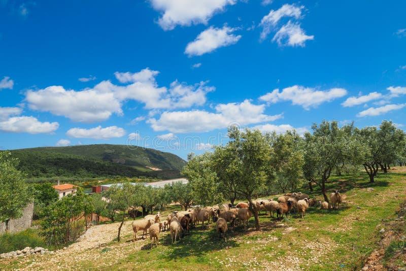 De traditionele Griekse landbouw met sheeps en olijfbomen op isl royalty-vrije stock fotografie