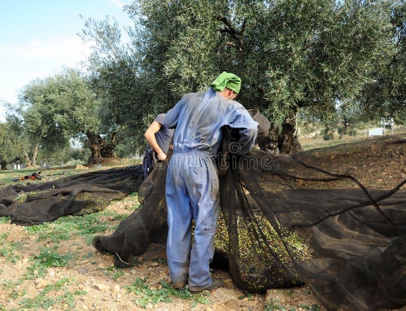 De traditionele oogst van olijfbomen dient langs Andalusia, Spanje in stock fotografie