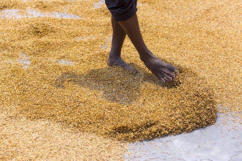 De traditionele Rijstfabrikantarbeider keert padie voor het drogen om royalty-vrije stock foto