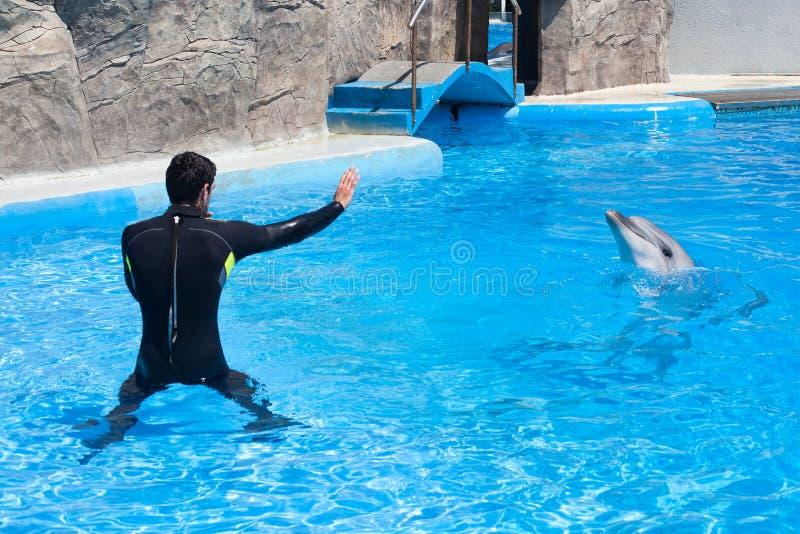De trainermens in zwart duikkostuum en de dolfijn in waterpool in dolphinarium met blauw water, bus onderwijzen dolfijn om te spr stock afbeeldingen