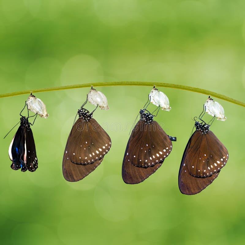 De transformatie van de Gemeenschappelijke kern van Euploea van de Kraaivlinder kwam te voorschijn stock foto's