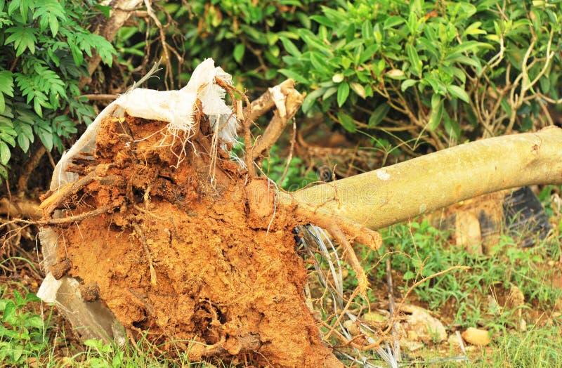 De transplantatie van de boom royalty-vrije stock afbeelding