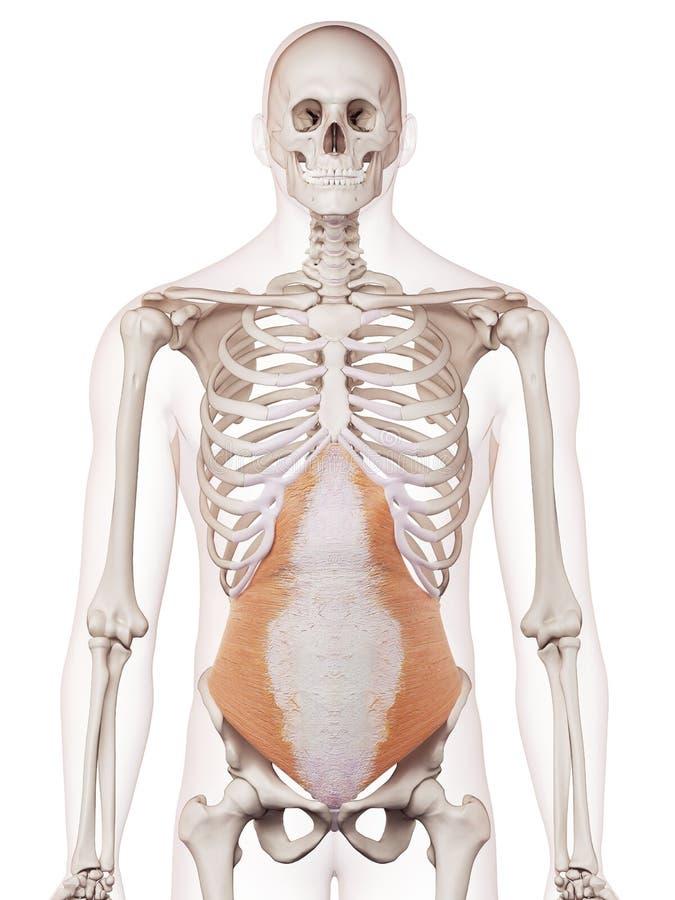 De transversus abdominisna stock illustrationer