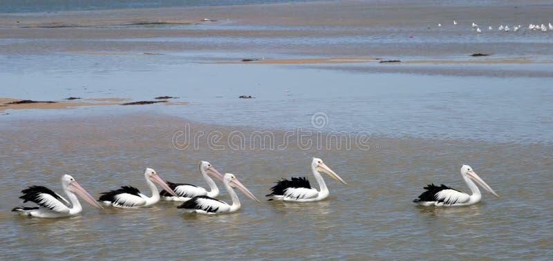 Download De Trein van de pelikaan stock foto. Afbeelding bestaande uit dier - 285348