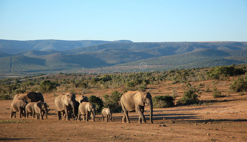 De trekking van de olifantskudde royalty-vrije stock foto's