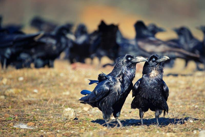 De tribune van twee ravencorvus corax behalve het pak stock afbeeldingen