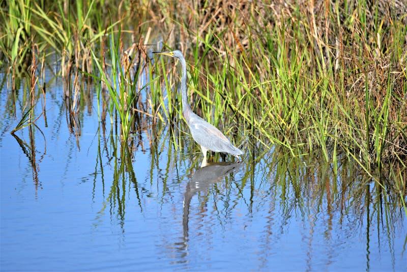De Tricolored-Reiger besluipt zijn prooi op het moeras van Amelia Island, Florida royalty-vrije stock afbeelding