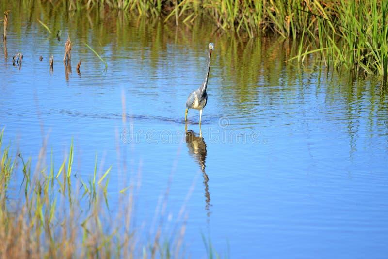 De Tricolored-Reiger gebruikt zijn lange hals om een betere mening te krijgen van wat in het water rond hem plaatsvindt stock afbeeldingen