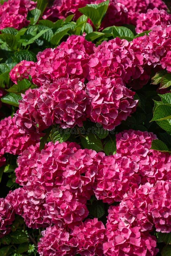De trillende roze hydrangea hortensia bloeit in volledige bloei die de struik, de zomertuin behandelen stock afbeeldingen