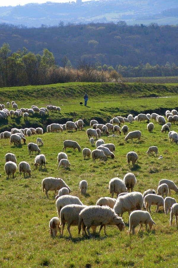De troep en de herder van schapen stock afbeeldingen