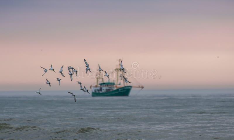 De troep/de groep zeemeeuwen die in nadruk vliegend bij de zonsonderganghemel met een vissersboot op de achtergrond zijn vertroeb stock afbeelding