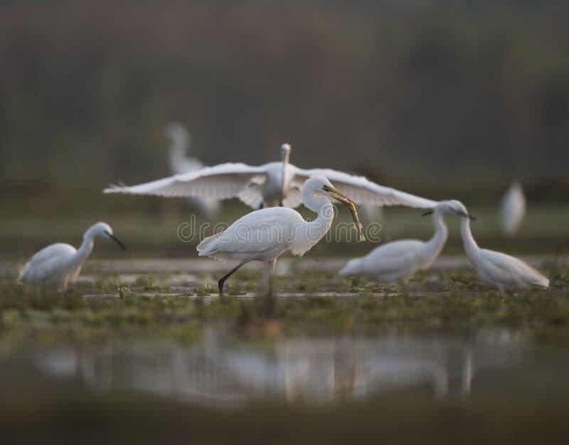 De Troep Grote Witte Aigrette Visserij royalty-vrije stock foto's