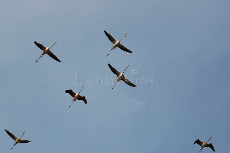 De Troep van de flamingo royalty-vrije stock foto