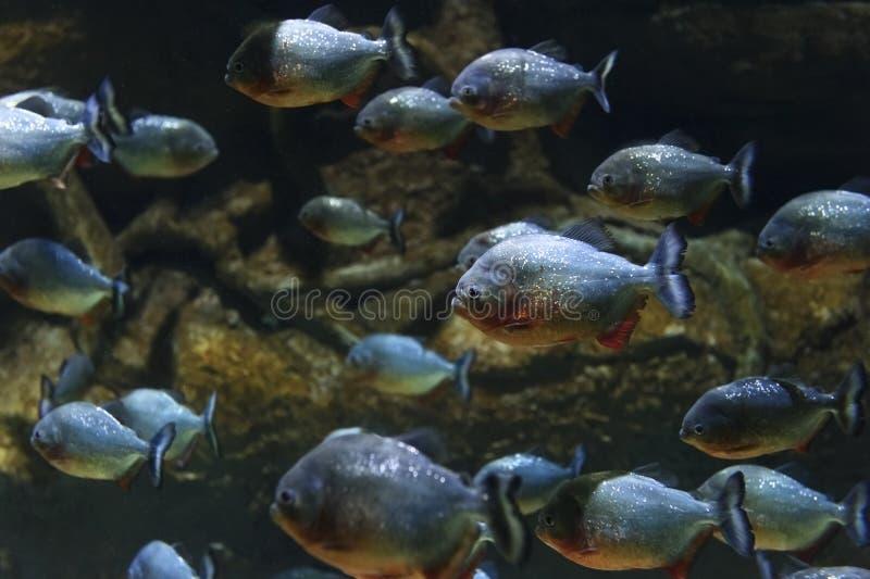 De troep van piranha'svissen royalty-vrije stock afbeeldingen