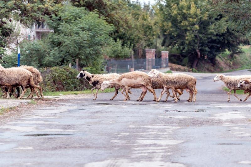 De troep van schapen die de weg in het dossier kruisen stock foto's