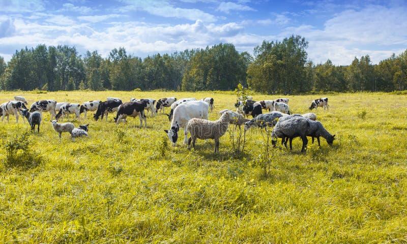 De troep van schapen en koeien die op groen en geel gras in een zonnige dag weiden stock fotografie