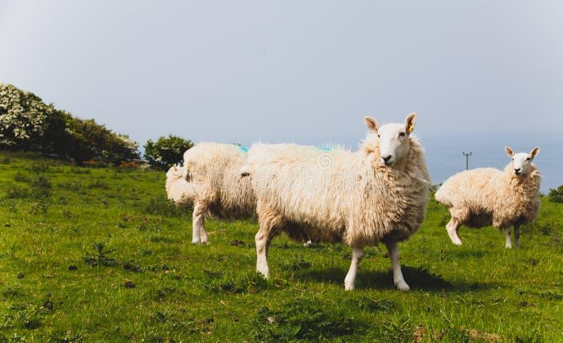 De troep van schapen hield biologisch in een weide in het platteland Groene gebieden in de bergen met het weiden van schapen en b stock foto