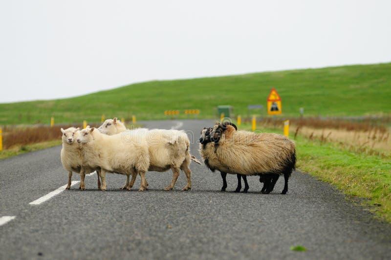De troep van schapen kruist de weg stock afbeeldingen