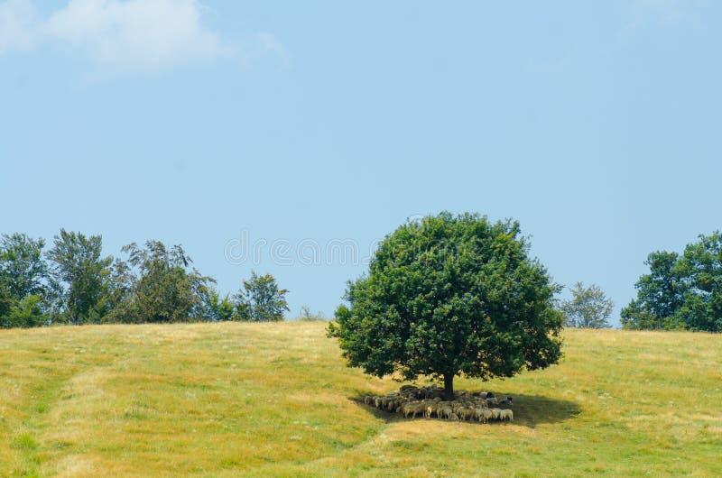 De troep van schapen rust bij de schaduw van een grote boom op een heuvel royalty-vrije stock afbeeldingen