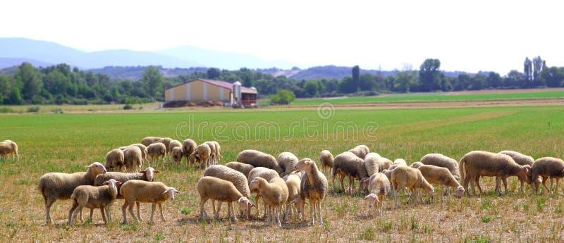 Download De Troep Weidende Weide Van Schapen Op Grasgebied Stock Foto - Afbeelding: 17306580