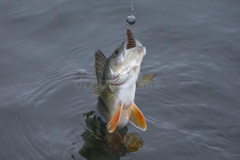 De trofee van toppositievissen in water wordt gevangen dat Visserijachtergrond stock afbeeldingen