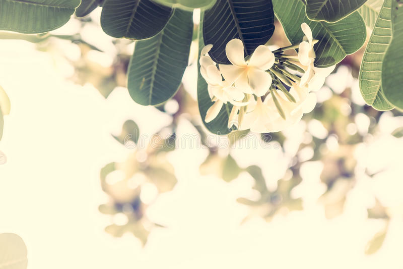 De tropische achtergrond van de strandvakantie met mooie frangipani bloeit met zonneschijn als tropische achtergrond in uitsteken stock foto's