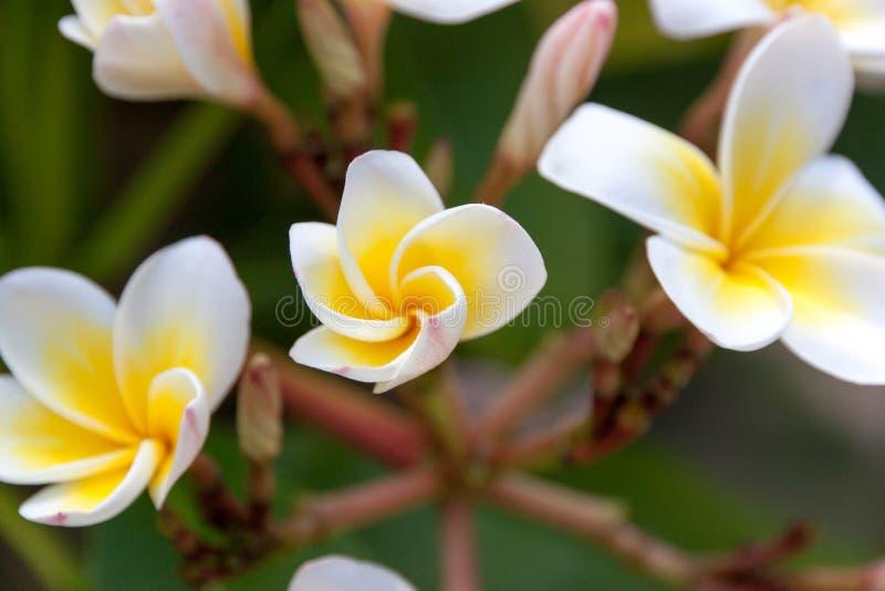 De tropische bloem van Frangipani royalty-vrije stock afbeelding